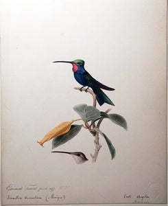 travies-edouard-1809-1865-original-painting-of-a-blue-tufted-starthroat-hummingbird-paris-1847