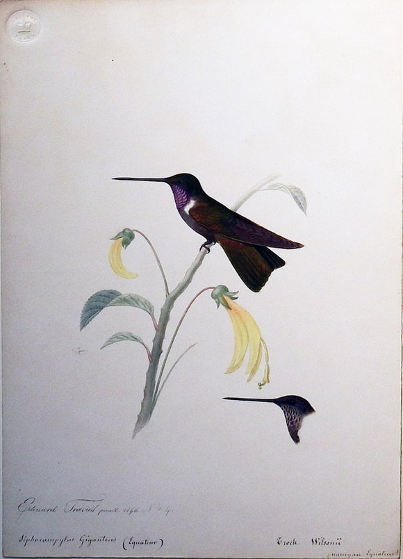 travies-edouard-1809-1865-original-painting-of-a-brown-inca-hummingbird-paris-1846