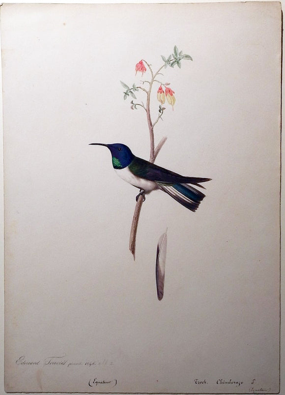 travies-edouard-1809-1865-original-painting-of-a-violet-hooded-hillstar-hummingbird-paris-1846