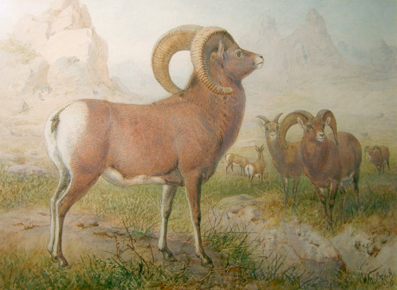 Joseph Wolf (German, 1820-1899) The Argali Sheep (Ovis Ammon)