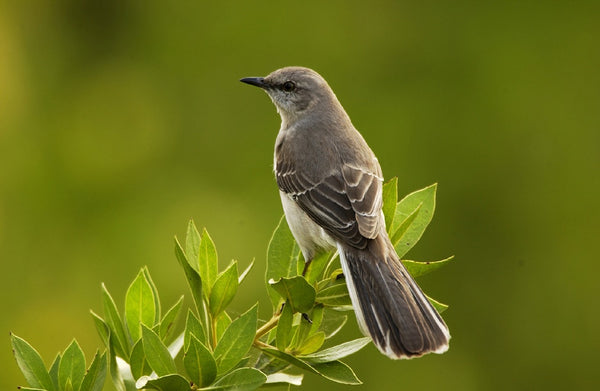 The Value of Birdsong  (mockingbird)