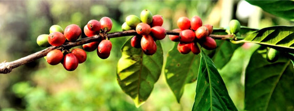 Coffee Tree or Coffee Shrub?