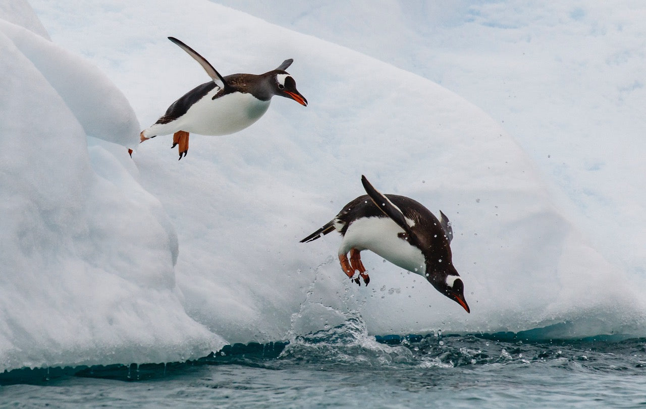 Cinstrap Penguins leap off an iceberg in Antarctica, Photo, Gallery Mount, 14 x 23