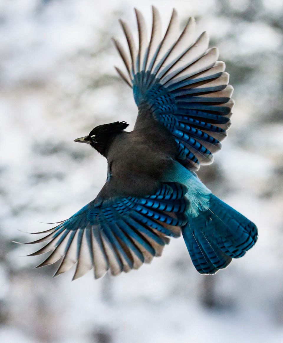 Steller's Jay in flight