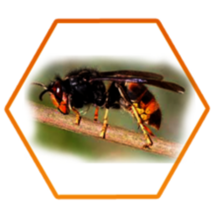 What is the Asian Hornet and how do I treat it?