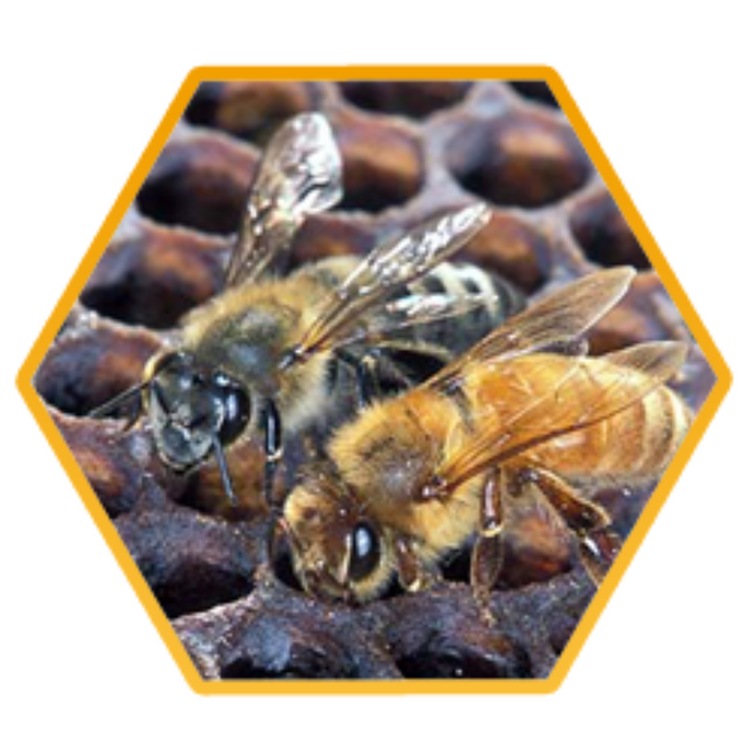 What are Africanised Honeybees and how do I treat them?