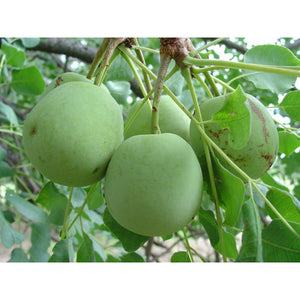 Organic Marula Carrier Oil - Carrier Oil