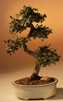Chinese Elm Bonsai Tree - Large Curved Trunk Style