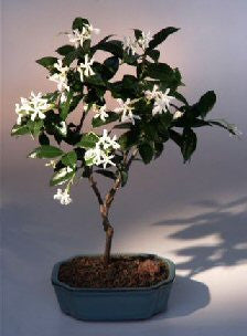 Flowering White Jasmine Bonsai Tree
