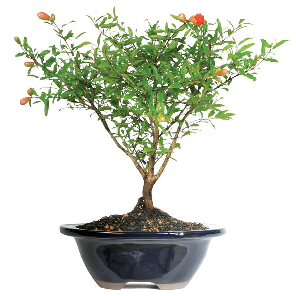 Dwarf Pomegranate Tree - Small