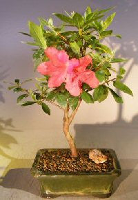 Flowering Tropical Pink Azalea Bonsai Tree