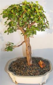 Bonsai Trees for Sale | IndoorHerbKits com