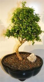 Japanese Kingsville Boxwood Bonsai Tree