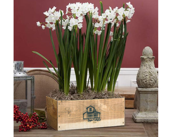 Paperwhites Planter Kit