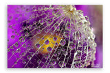 Dandelion - Photography Canvas Art Print