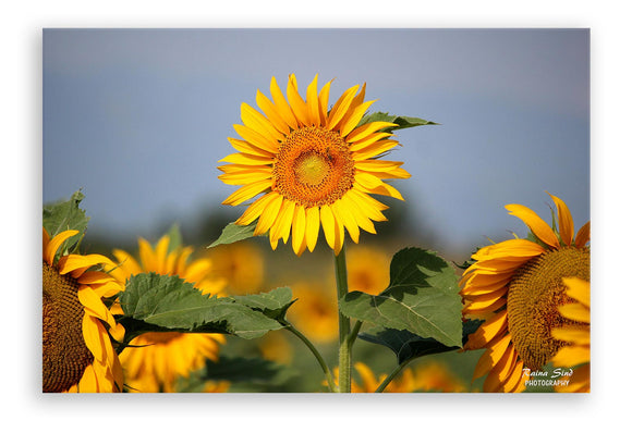 Sunflowers - Photography Canvas Art Print