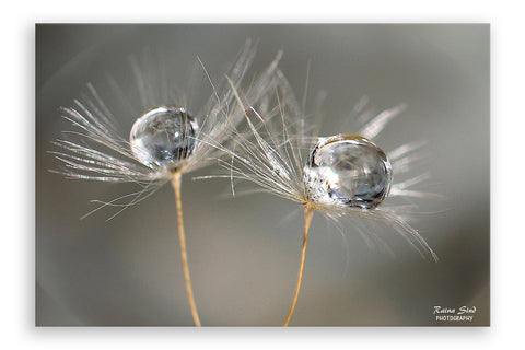 Dandelions - Photography Canvas Art Print