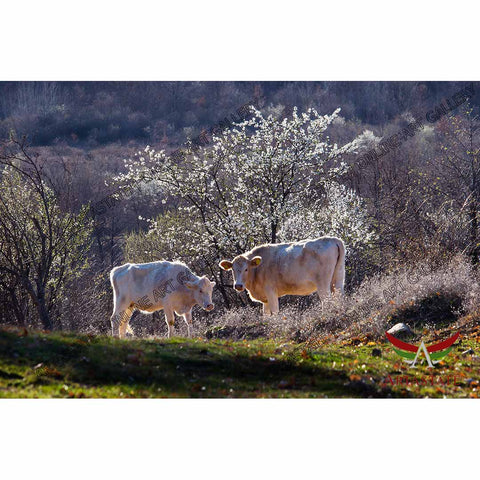 Cows, Digital Photo - Stock Image