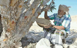 ~The Frankincense Harvest~