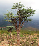 Boswellia Socotrana Frankincense (VERY RARE!)  - Imported from the Island of Socotra. - Wild Tree Essentials