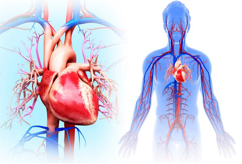 How Does Alcohol Affect Your Body? - Circulatory System