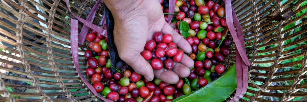 Arabica vs Robusta: What's the difference?