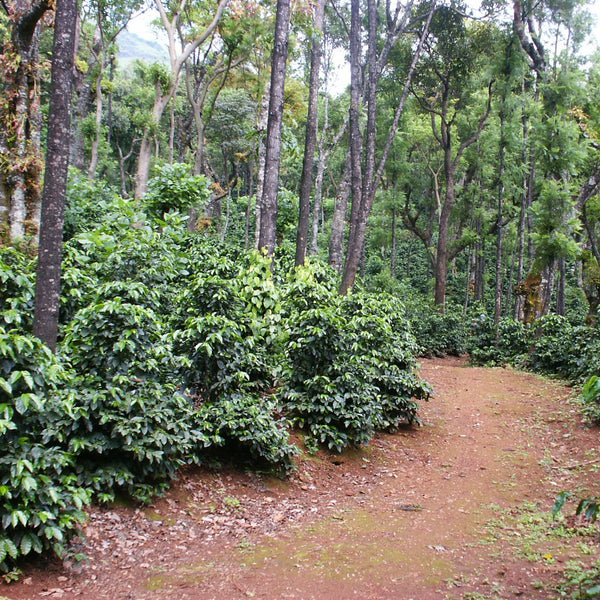 Coffee growing on a plantation in India, under the shade of trees
