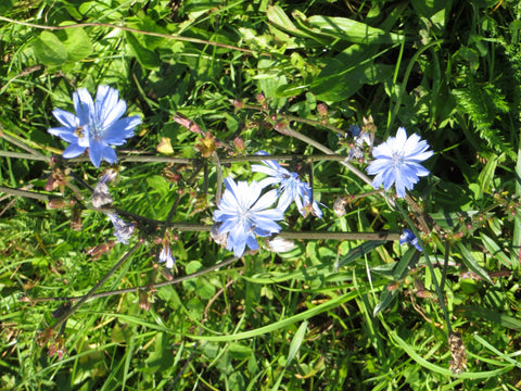 blue chicory flowers