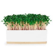 Urban Greens - Mini Garden Sprout Grow Kit - Pink Kale