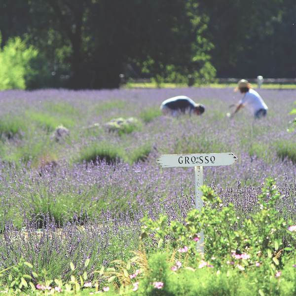 Things we Luv: Los Poblanos Lavender