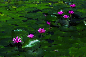 lotus flowers in lily pond