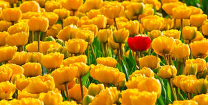 Yellow Tulips with One Red One