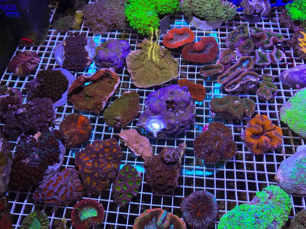 Aussie Corals available this weekend @ FNM Retail Outlet!