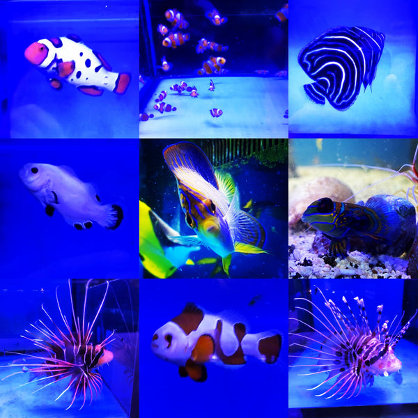Marine Fish Available for Sale This Week (Updated 4 Sep 2020)
