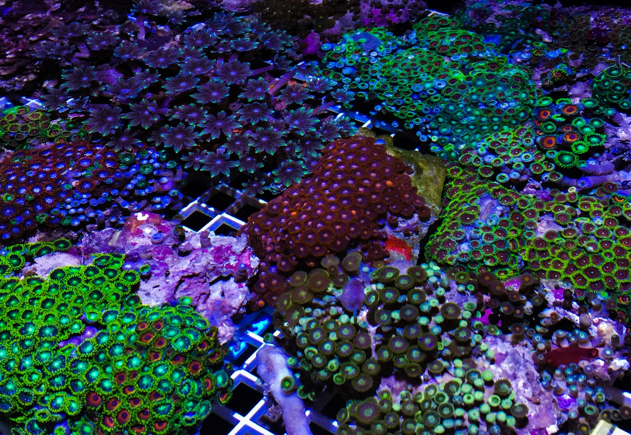 Featuring corals this week for sale.. Nice Zoanthid & Birdnests