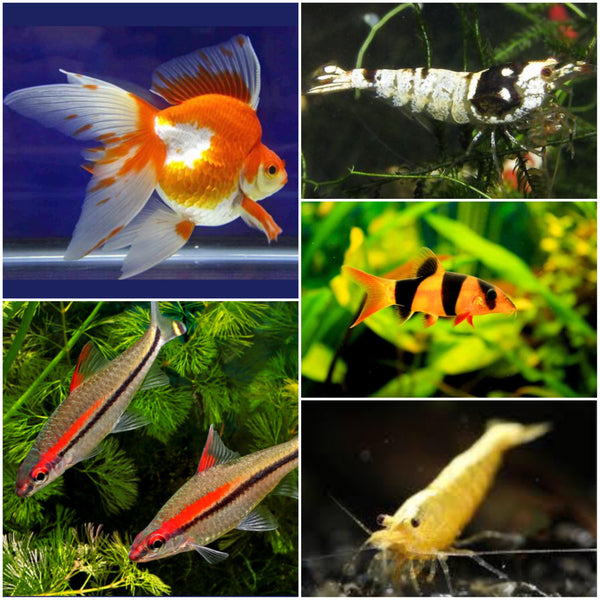 Freshwater Fish New Shipment Update @ 17 Dec 2018