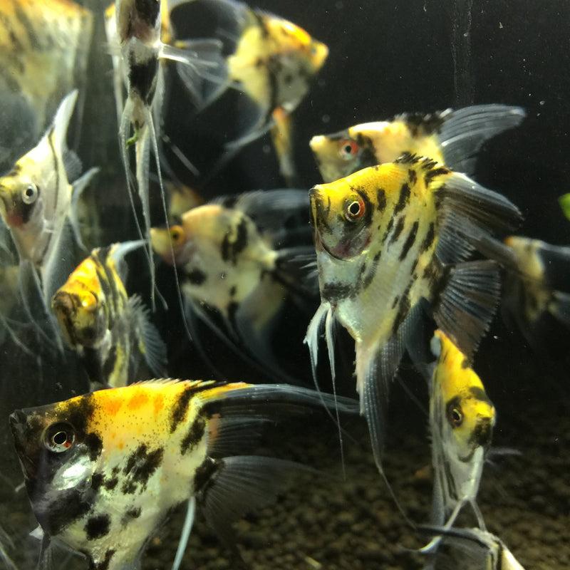 "Koi Angelfish (2-3"")"