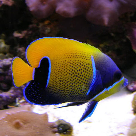 Live stocks tagged marine fish fresh n marine for Fish compatible with angelfish