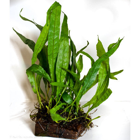 Java Fern (Microsorum pteropus) (wood) (large)