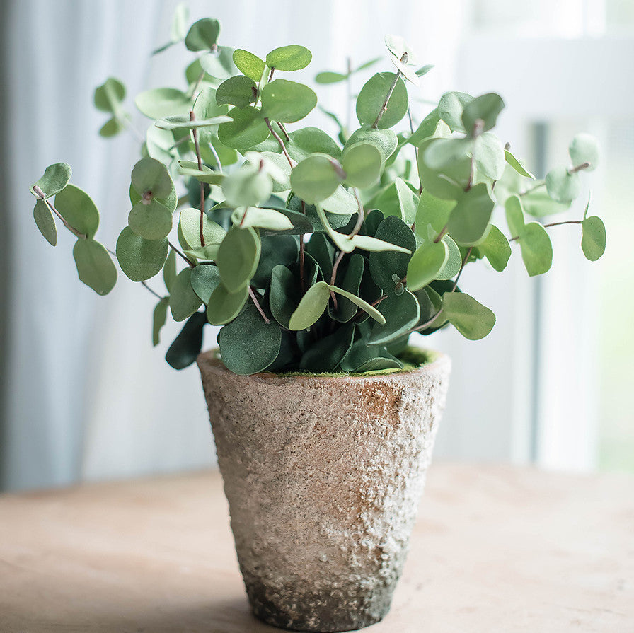 Potted Eucalyptus