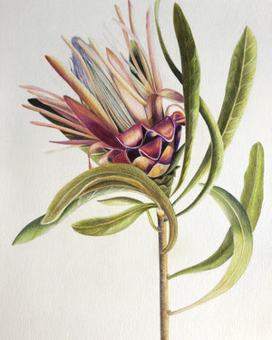 Illustration - Coloured Protea Limited Edition - Mookah