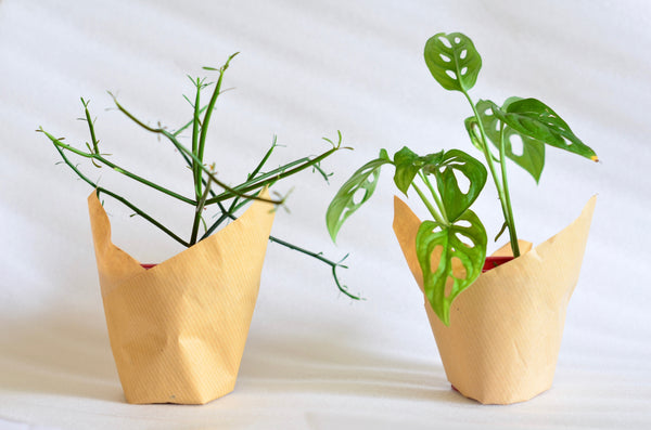 Group Partner handmade planters in Singapore - monstera adansonii