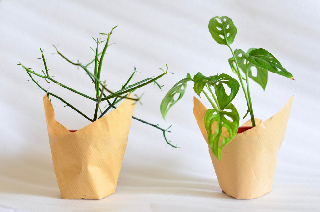 Group Partner Young Love boy planters in Singapore - monstera adansonii and pencil cactus