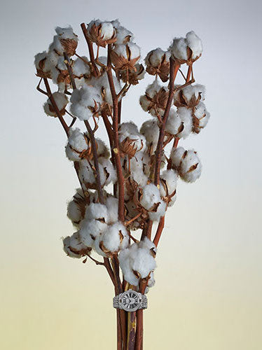 COTTON BUTTS, OOPS BUDS: STANDARD EDITION (SINGLE STALK)