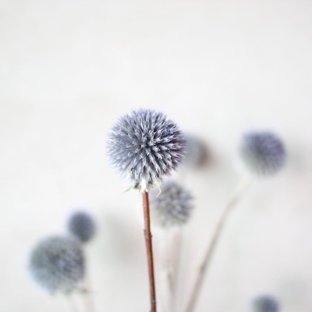 SWEET BLUE ECHINOPS (SINGLE STEM)