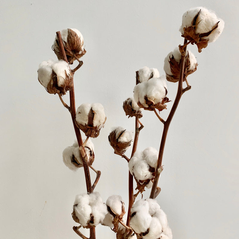 Cotton Butts, Oops Buds: Tall