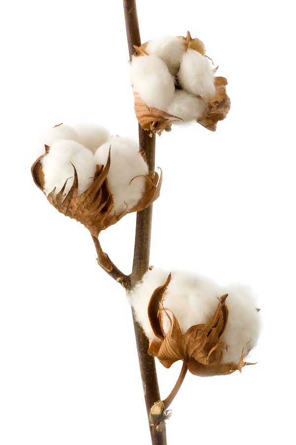 COTTON BUTTS, OOPS BUDS (SINGLE STALK)