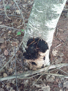 Ancient Wisdom of Chaga Mushroom and how the amazing conscious Birch tree, at the end of its life cycle, forms a symbiotic relationship with the Chaga mushroom.