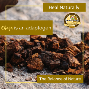 chaga benefits adaptogen