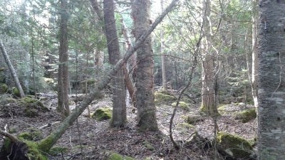 Chaga Boral Forests